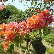 100pcs Bougainvillea Bonsai Seeds Leaves Flower Bonsai Balcony Pot Seeds Indoor