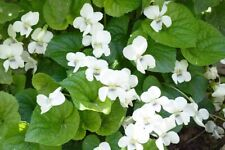 Wild Violets/white Set Of 10 Perennial Bare Roots , Edible