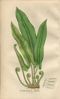 Exquisite SOWERBY Antique FERN Print Engraving SCOLPENDRIUM VULGARE 1855 - H/col