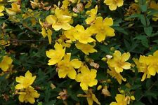 5 St. John's Wort / Hypericum 'Hidcote' 1-2ft Tall Plants, Attractive Flowers