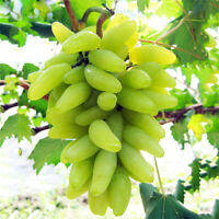 New Golden Finger Green Sweet Grape Organic Seeds Hardy Plant Delicious Fruit