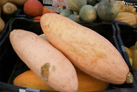 squash, BANANA pink, HEIRLOOM 20 SEEDS! GroCo#