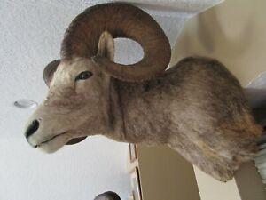 Taxidermy Big Horn Sheep sholuder mount
