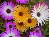 50 Semillas Mesembryanthemum