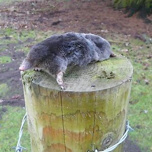 Professional Mole Catching - DVD