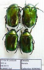 Cetonia aurata  ??? (4 ex A1) from ALBANIA (Cetoniidae)
