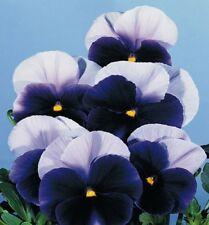 Stiefmütterchen Viola Blau-Lasur zweijährig 20 cm Samen