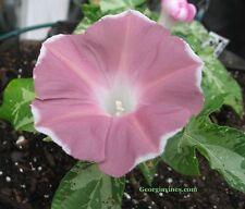 Morning Glory Ipomoea Dwarf Pink Picotee 6 seeds