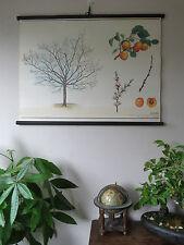 VINTAGE botanico scuola discesa grafico di un ALBICOCCO carta su tela cz3