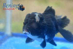 Goldfish live black Oranda with white bottom head size 5 in #include fee import