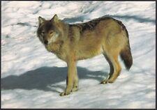 AA5731 Lupo con mantello invernale - Canis lupus - Cartolina postale - Postcard