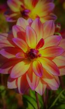 """""""Pacific View Decorative Dahlia Root"""" Spectacular Flowers Bulb Check Our Store"""