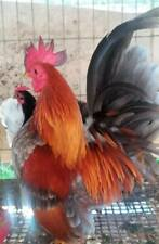 6++ Malaysia Serama Hatching Eggs Straight Feather Size A Birds Free Shipping