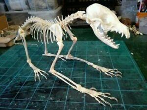 1 set of complete real animal bone specimens, fox skull bone specimens