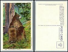 YELLOWSTONE NATIONAL PARK Postcard -Mother Bear & 2 Cubs Madonna Of The Wild P21