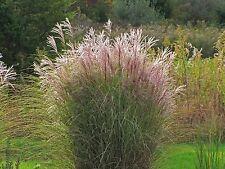 Miscanthus Sinensis Gracillimus Maiden Hair Ornamental Grass for a 1 gallon pot