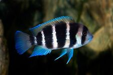 Frontosa Cichlid Cyphotilapia frontosa  4 cm tropical fish