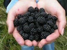 100 BLACKBERRY Seeds Sweet Fruit  Fresh this season's harvest from my Farm!