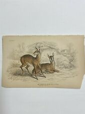 #30 Antique 1800s Lithograph Engraved by Lizars Thibetian Musk Plt 3