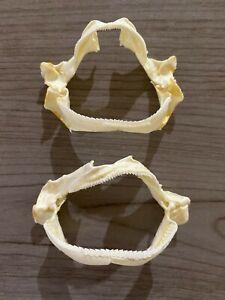 Lot of 2 Gulper Shark Jaws Centrophorus granulosus real jaws