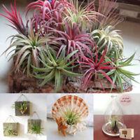 100 x tillandsia seed rare assorted ionantha air plants tillandsia garden decor-