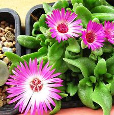 30 Mesembryanthemum spectabile Seeds Livingstone Daisy Garden Flowers A213