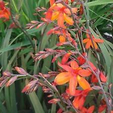 Crocosmia x crocosmiiflora 'Saracen' - 3 x perennial plants in 9cm pots