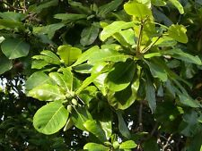 Live Almond Tree (Terminalia catappa) Large Healthy High Quality A+