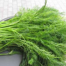 100 Fennel Seed Foeniculum Valgare Delicious Spices Garden Vegetable Seeds