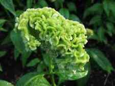30+ Celosia Lime Green Cockscomb Flower Seeds/ Reseeding Annual