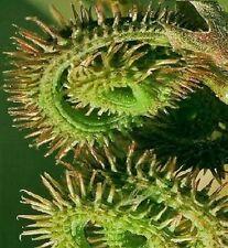 Raupen-Kraut Pflanzen Duftsträucher Duftstauden für den Balkon Garten winterhart