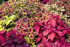 Mixed Coleus Seeds, Foliage Plant Seeds, Non-Gmo Heirloom Flower Seeds, 50ct