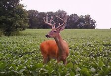 5 Lb Dwarf Essex Rape Seed Forage Food Plot Bulk Deer turkey attractant Birds