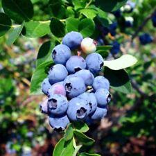 "Blueberry Plants ""Emerald"" (Southern Highbush) Includes (4) Four Plants"