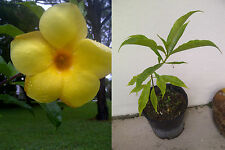 Yellow Allamanda - Flowering Shrub (allamanda cathartica) live plant