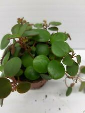 Peperomia Peperspot Live Tropical Vivarium Terrarium House Plant