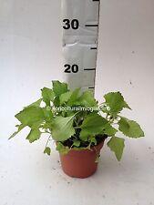 Piante di Spilanthes Oleracea - Acmella - Toothache Plant - MAL DI DENTI *BIO*