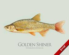 GOLDEN SHINER BAIT FISH PAINTING AMERICAN FISHING ART REAL CANVAS PRINT