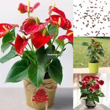 20Pcs Anthurium Seeds Perennial Evergreen Herb Bonsai Plants Seeds ESY1