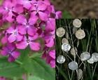 Money Plant Seeds Lunaria Annua Violet 50+ Seeds BUY 4 GET FREE SHIPPING