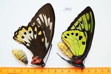 2892 Ornithoptera priamus poseidon 1p A- Papilionidae Arfak Mt