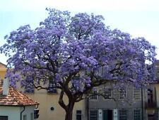 Paulowinia - 'Foxglove Tree'. Spectacular colour!!!  2L pot at height: 60-90CM