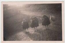 (F15755) Orig. Foto Truthahn, Puten auf dem Hof 1940er