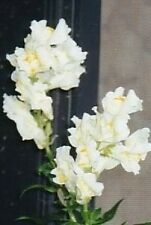 250 WHITE SNOWFLAKE SNAPDRAGON Antirrhinum Majus Flower Seeds + Gift & Comb S/H