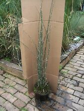 Horsetail Rush (water bamboo)Pond,Water Plant,100% Organic Grown,Pa Lic. #0005Dl