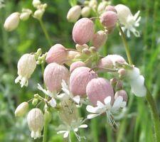25 Bladder Campion Wildflower seeds ~ Organic ~ Silene vulgaris