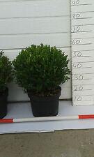 buchsbaum kugel 35cm super Angebot! 2 fur €24,95!