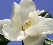5 graines Magnolia d/'été G323 SOUTHERN MAGNOLIA SEEDS SAMEN Magnolia Grandiflora