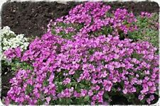 "Ukrainian Organic Flower Seeds Arabis alpina ""Pink Alpine"" Rezuha Fresh 50 seeds"