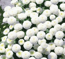 RARE - SNOW BALL FLOWER - 1600 seeds - Chrysanthemum Tanacetum parthenium